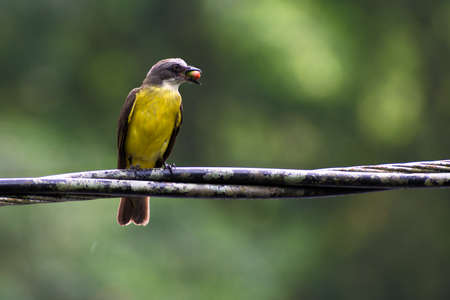 Gray capped Flycatcher (Myiozetetes granadensis) perched on wire with seed inside beak