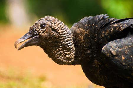 Portrait of Black Vulture (Coragyps atratus) Stock Photo - 87808382