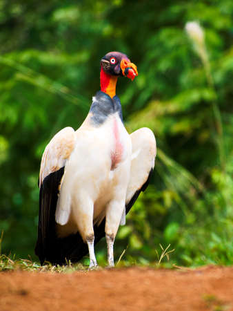 rain forest animal: Portrait of Adult King Vulture (Sarcoramphus papa)