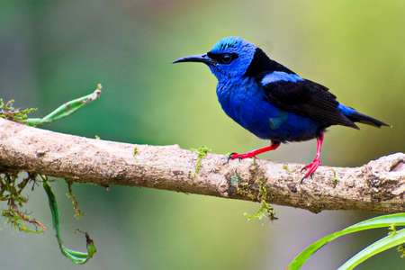 Portrait of Adult Male Red legged Honeycreeper (Cyanerpes cyaneus) perched on small branch Stock Photo