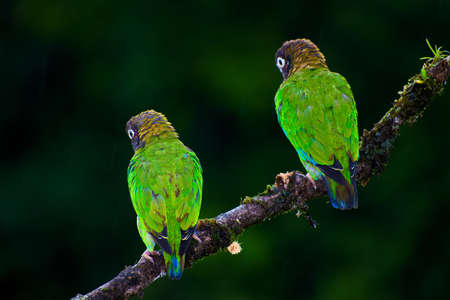 rain forest animal: Pair of Brown hooded Parrot (Pyrilia haematotis) perched on small branch Stock Photo