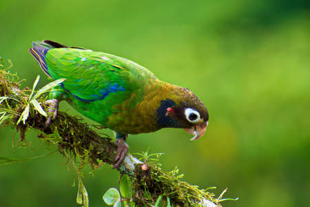rain forest animal: Portrait of Brown hooded Parrot (Pyrilia haematotis) perched on small branch Stock Photo