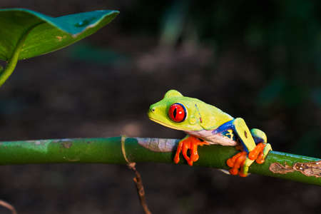 Red-Eyed Green Tree Frog perched on green vine