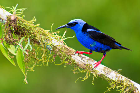 Portrait of Adult Male Red legged Honeycreeper (Cyanerpes cyaneus) perched on mossy branch