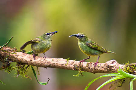 Juvenile and Adult Female Red legged Honeycreeper (Cyanerpes cyaneus) perched on mossy branch Stock Photo