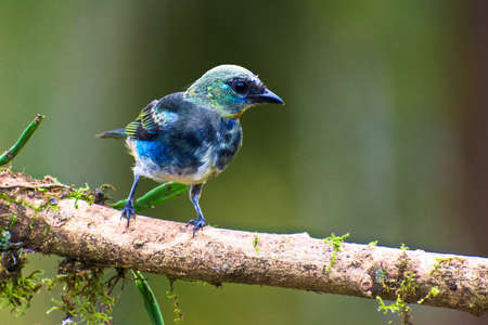 laden: Juvenile Golden-hooded Tanager perched on moss-laden branch in rain forest with green background