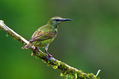 Portrait of Adult Female Red legged Honeycreeper (Cyanerpes cyaneus) perched on mossy branch Stock Photo - 85879949