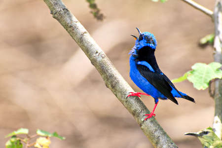 Portrait of Adult Male Red legged Honeycreeper (Cyanerpes cyaneus) perched on small branch and singing Stock Photo