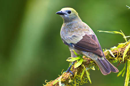 Portrait of Palm Tanager (Thraupis palmarum) perched on mossy branch Stock Photo