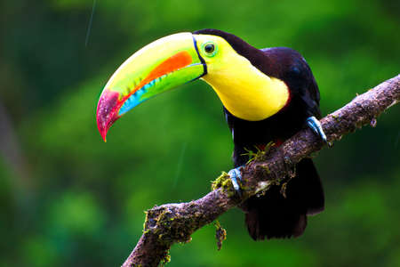 Keel billed Toucan (Ramphastos sulfuratus) perched
