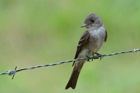 gray: Portrait of Eastern Wood-Pewee (Contopus virens) perched on fence wire