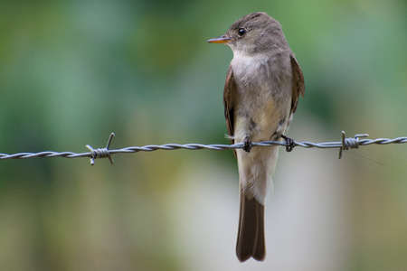 wire fence: Portrait of Eastern Wood-Pewee (Contopus virens) perched on fence wire