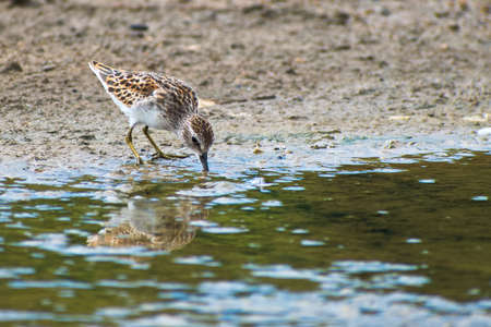 Portrait of Least Sandpiper in Breeding Plumage (Calidris minutilla) with reflection wading on shallow water