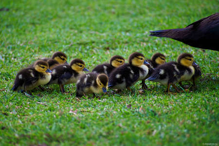 Group of Muscovy Duck Hatchlings (Cairina moschata) following their mothers Stock Photo