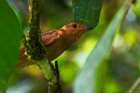 Portrait of Rufous Mourner (Rhytipterna holerythra) perched on branch in deep forest