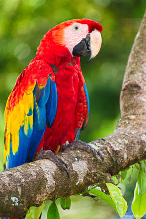 Portrait of Scarlet Macaw (Ara macao) perched on tree