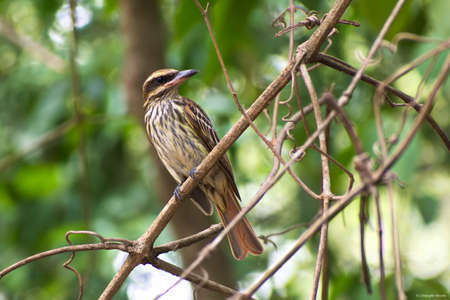 Portrait of Streaked Flycatcher (Myiodynastes maculatus) perched on small twigs Stock Photo