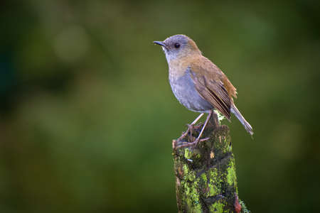 Black-billed Nightingale-Thrush (Catharus gracilirostris) perched with green background