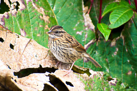Portrait of Juvenile Rufous-collared Sparrow (Zonotrichia capensis) hoping on the ground