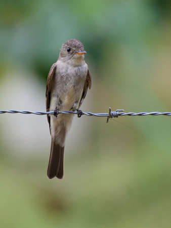 Portrait of Eastern Wood-Pewee (Contopus virens) perched on fence wire