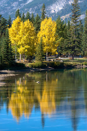 Yellow Aspen Trees Reflection over Bow River in Banff Town