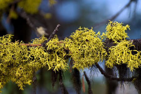 Pine Tree Branch with Yellow Parasite Plant and Black Roots