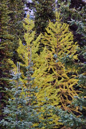 단풍 나무 가을 시즌 동안 노란색 선회 스톡 콘텐츠 - 91014564