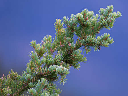 Conifer Tree Branch with Needle-like leaves Stock Photo