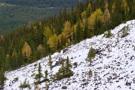 Larch Trees turning Yellow within Pine Tree Forest and Snow Covered Ground 版權商用圖片