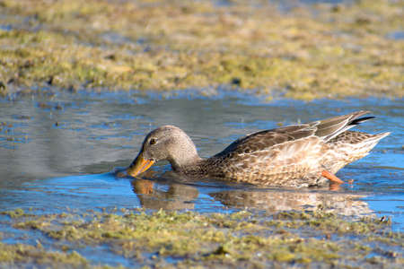 Portrait of Female Northern Shoveler wading on the shallows at Vermillion Lake with reflection on water