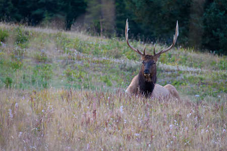 Portrait of Male Elk resting and grazing on the ground