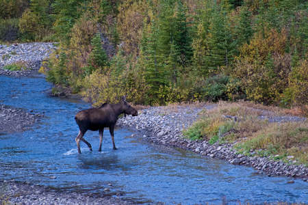 Portrait of Moose on the Run through Grass Field alongside River