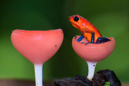 Portrait of Strawberry Poison Dart Frog or Blue Jeans Frog with Pink Fungi Stock Photo