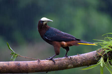 Portrait of Chestnut-headed Oropendola (Psarocolius wagleri) perched on branch under the rain
