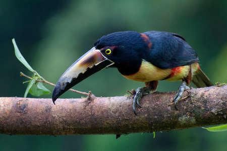 Portrait of Collared Aracari (Pteroglossus torquatus) perched on branch