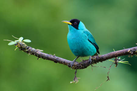 Portrait of Adult Male Green Honeycreeper (Chlorophanes spiza) perched on branch Stock Photo