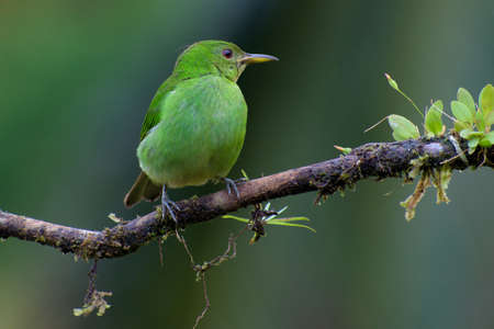 Portrait of Female Green Honeycreeper (Chlorophanes spiza) perched on branch