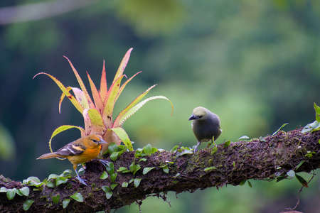 Portrait of Palm Tanager (Thaupis palmarum) perched on branch in rain forest Stock Photo
