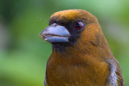 Close up Portrait of Prong-billed Barbet (Semnornis frantzii) under the rain Stock Photo
