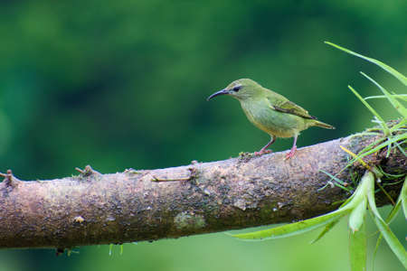 Portrait of Red-legged Honeycreeper (Cyanerpes cyaneus) perched on branch covered in vegetation