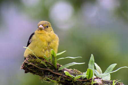 Portrait of Female Scarlet Tanager (Piranga olivaceous) perched on branch covered in wet vegetation