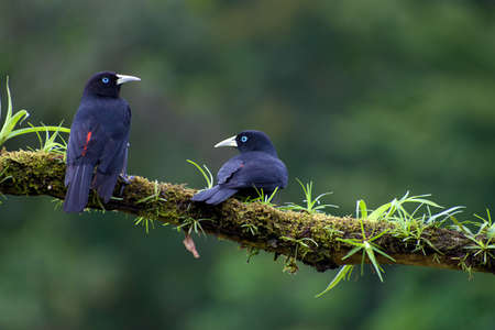 Pair of Scarlet-rumped Cacique (Cacique uropygialis) perched on branch with vegetation