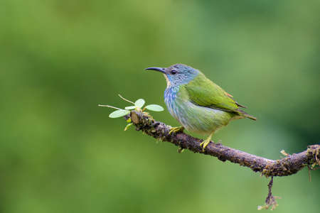Portrait of Shining Honeycreeper (Cyanerpes lucidus) perched on branch covered in vegetation