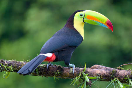 Portrait of Keel-billed Toucan (Ramphastus sulfuratus) perched on branch at Tropical Reserve