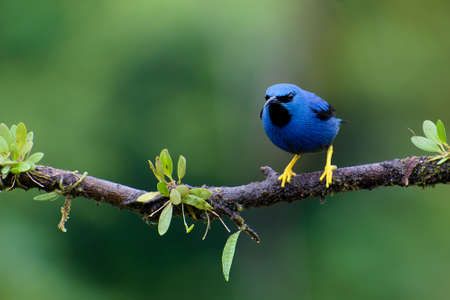 Portrait of Shining Honeycreeper (Cyanerpes Lucidus) perched on small branch Stock Photo