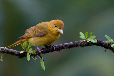 Portrait of Female Summer Tanager (Piranga Rubra) perched on branch covered in vegetation Stock Photo