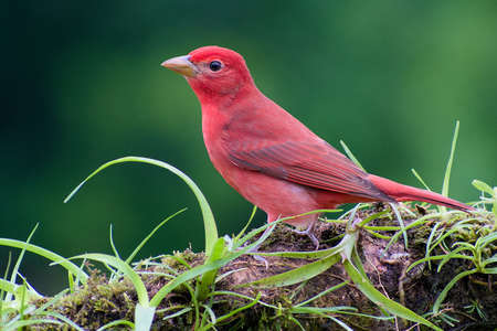 Portrait of Male Summer Tanager (Piranga Rubra) perched on branch covered in vegetation Stock Photo