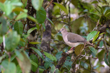 Portrait of White-tipped Dove (Leptotila verreauxi) perched on branch