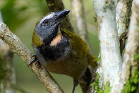 Portrait of Buff-throated Saltator (Saltator maximus) perched on branch