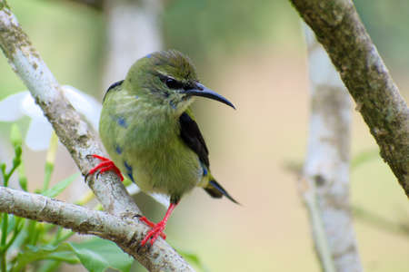 Portrait of Female Red-legged Honeycreeper (Cyanerpes cyaneus) perched on branch